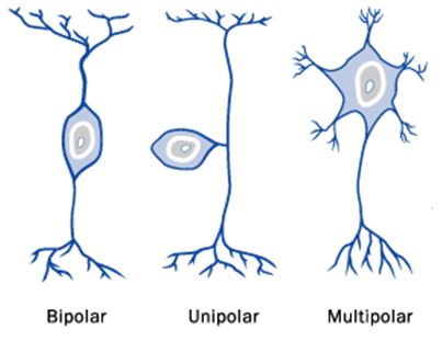 idealised neurone types1 Cellular Anatomy of the Nervous System neuroscience
