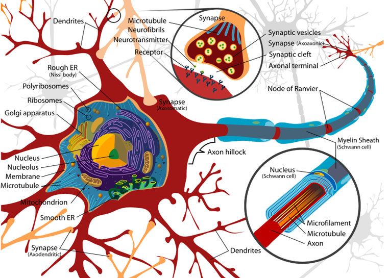 neurone structure1 Cellular Anatomy of the Nervous System neuroscience