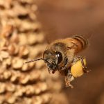 800px-Apis_mellifera_flying