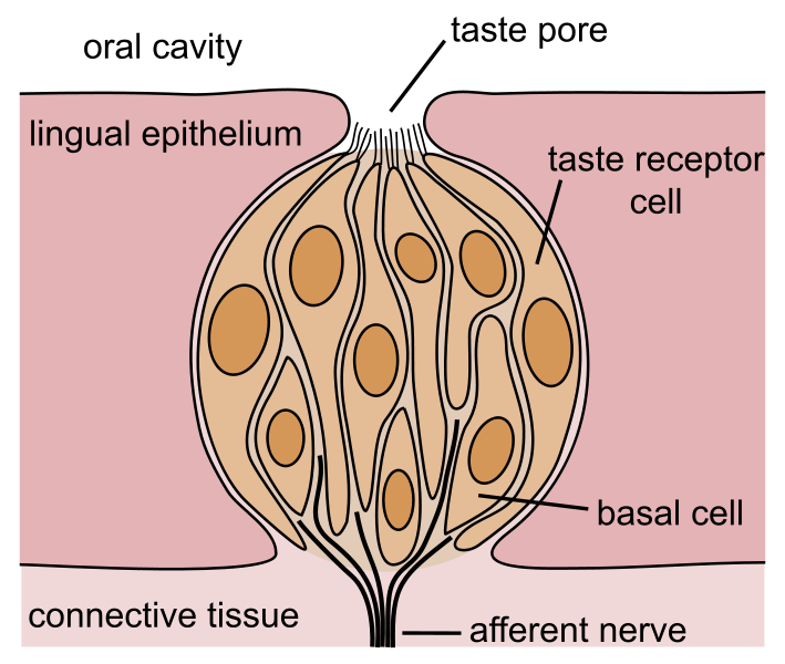 Taste Buds Diagram http://vetsci.co.uk/2010/05/05/special-senses-taste/