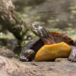 800px-Painted_turtle