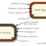 The different layers of Gram-Negative &amp; Gram-Positive bacteria
