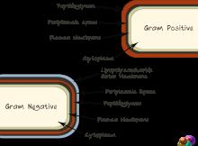 gram negative gram positive bacteria basics