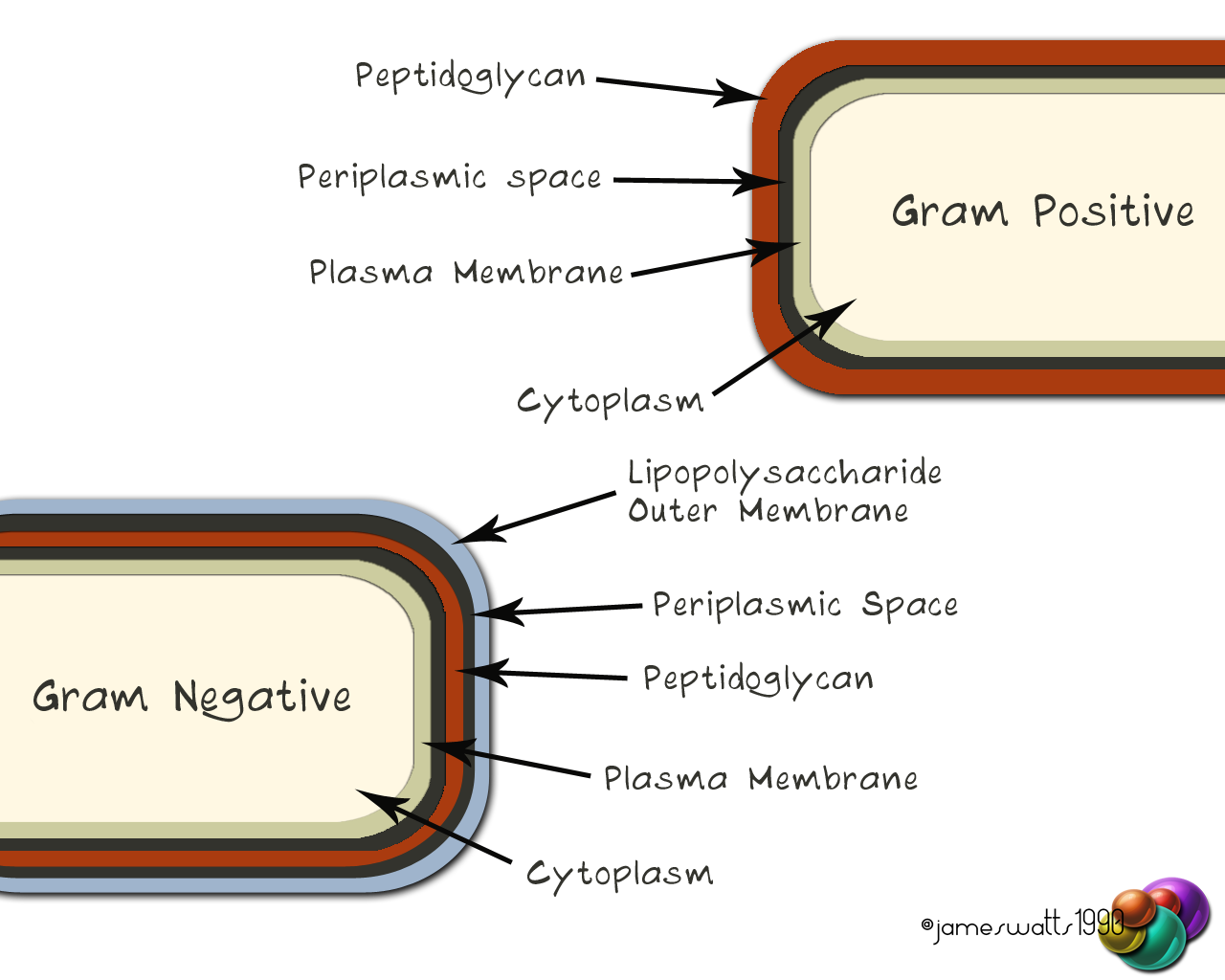 gram bacteria1 copy Bacteria Basics infectious diseases 