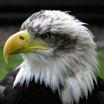 Bald.eagle