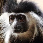 800px-Colubus_Monkey_003