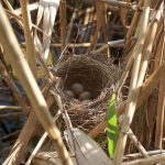 Acrocephalus_arundinaceus_nest