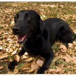 Labrador-Retriever-cross