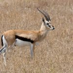 800px-Serengeti_Thomson-Gazelle1
