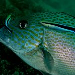 Sweetlips_wrasse_Nick_Hobgood