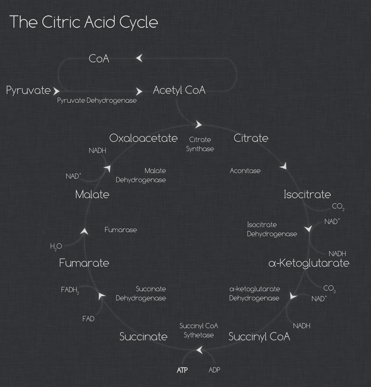 tsa web The Citric Acid Cycle infographics