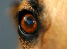 Canine Glaucoma Types Explained