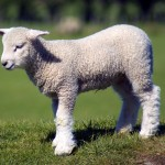 lamb colostrum high quality