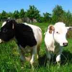johnes disease infected calves