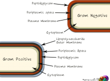 The different layers of Gram-Negative & Gram-Positive bacteria