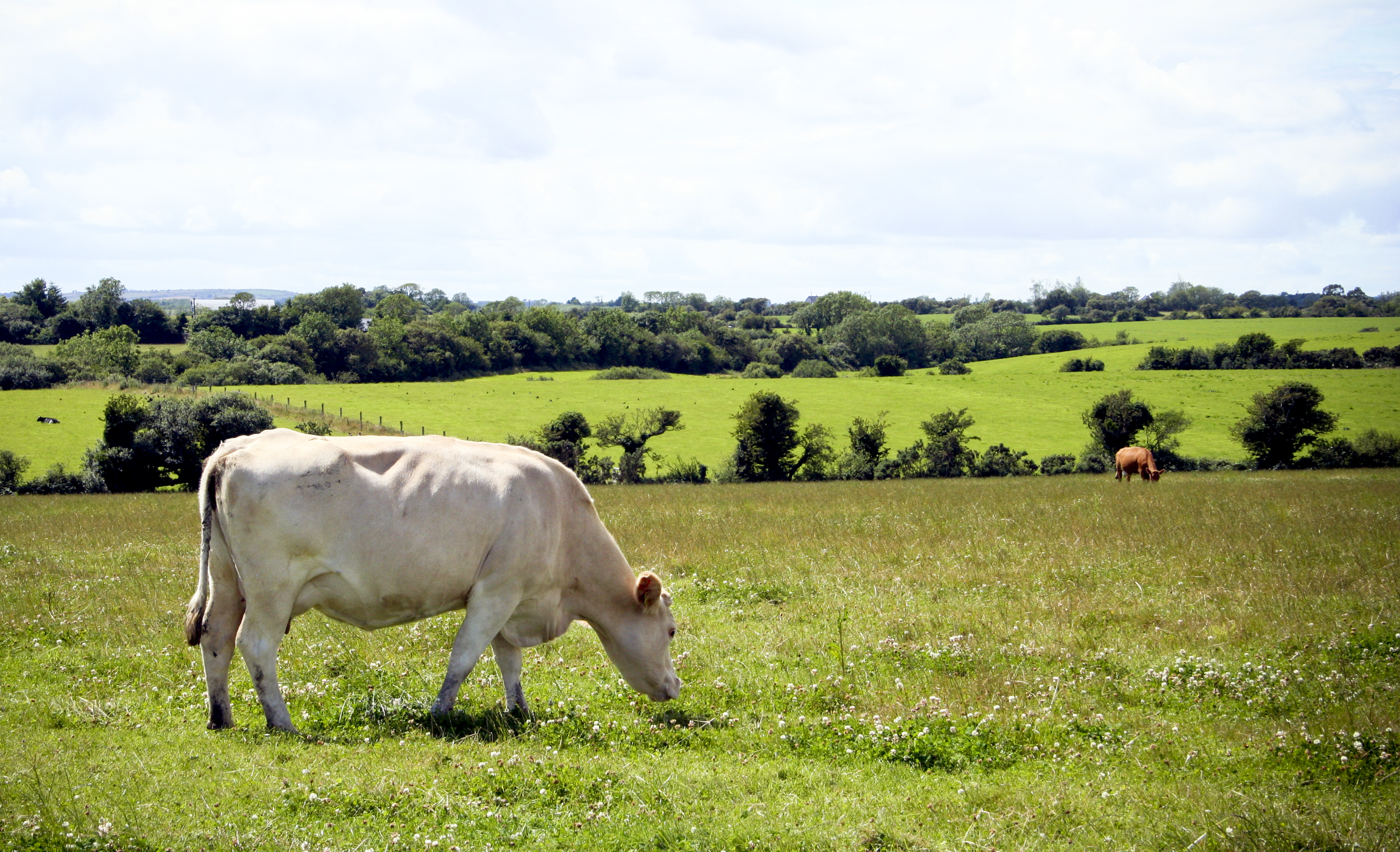 Dealing with Copper Deficiency in Cattle