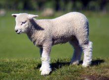 lamb colostrum high quality